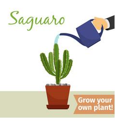 hand watering saguaro plant vector image
