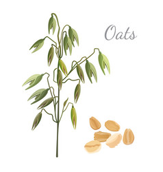 Oats branch and pile of cereals grain on white vector