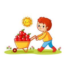 the boy rolls a wheelbarrow with apples vector image