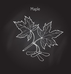 Maple branch with leaves and seeds vector