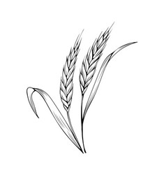 wheat spikelet coloring book vector image