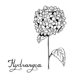 Hydrangea flower botany vector