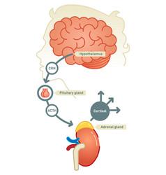 cortisol diagram vector image vector image