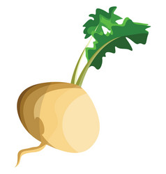 white turnip root with green leafs of vegetables vector image