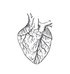 Hand drawn anatomic human heart vector