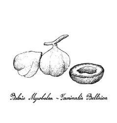 Hand drawn of beleric myrobalan fruits on white ba vector