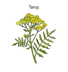 tansy tanacetum vulgare or common tansy vector image