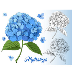 Luxurious hydrangea vector