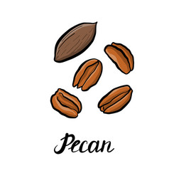 Drawing pecan vector