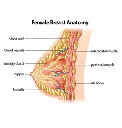 Female Breast Anatomy vector image