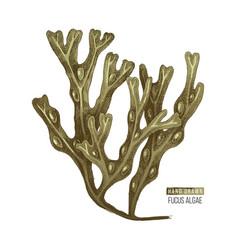 Hand drawn fucus algae vector