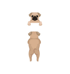 funny pug puppy front and back view portrait of vector image