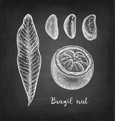 chalk sketch of brazil nut vector image