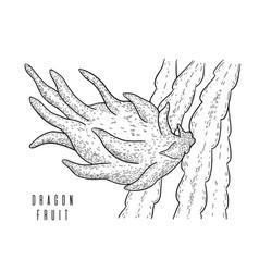 dragon fruitpitayapitahaya exotic cactus fruit vector image