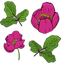 Painted dark red peony of a crimean and green vector