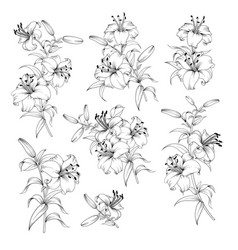 Collection of lily flowers vector