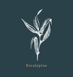 eucalyptus hand drawn sketch botanical vector image