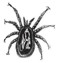 Red Mite vintage engraving vector