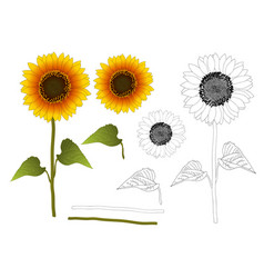 sunflower outline vector image