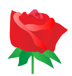 rose red on white background vector image