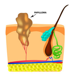 the structure of the papilloma the structure of vector image
