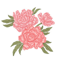 Hand drawn peony flowers isolated on white vector