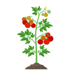 Tomato plant with ripe tomatoes fruits and flowers vector