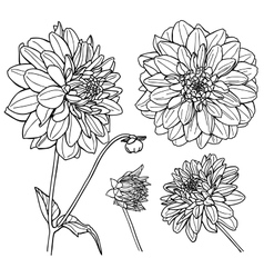 Dahlia flower set Line art vector image