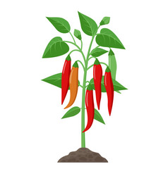 Chili pepper plant with ripe fruits growing in the vector