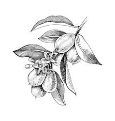 Hand drawn blooming kumquat branch with ripe vector