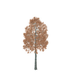 Aspen tree isolated on white background vector