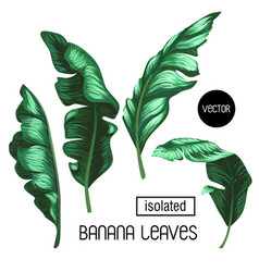 Banana leaves isolated on a white background vector