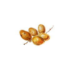 Fresh undried date fruit vector