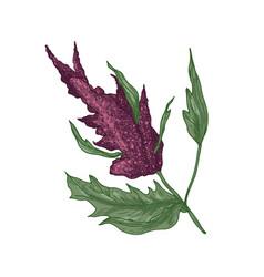 Realistic natural drawing quinoa or amaranth vector