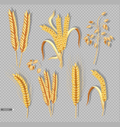 wheat ears isolated on transparent background vector image