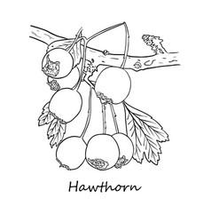 Abstract line art hawthorn berries freesia vector