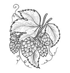 hops plant sketch engraving vector image