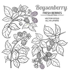 boysenberry branches set on white vector image
