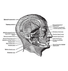 Muscles of the pterygoid region vintage vector