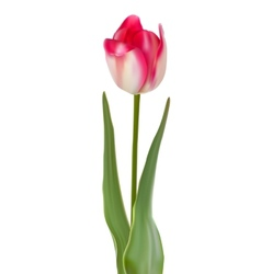 Tulip flower isolated on white background eps 8 vector