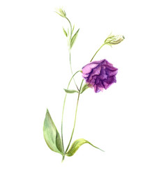 light purple flower eustoma or lisianthus vector image