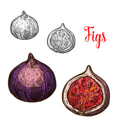 fig fruit isolated sketch with fresh exotic berry vector image