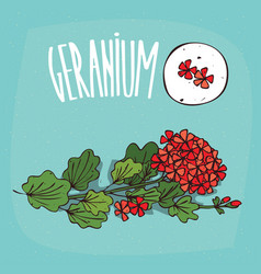 Set of isolated plant geranium flowers herb vector