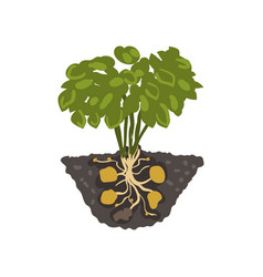 Potato plant healthy organic food concept vector