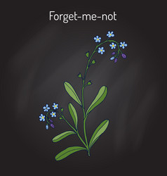 Forget-me-not myosotis arvensis vector