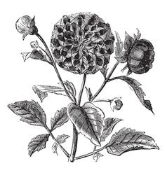 Dahlia vintage engraving vector image