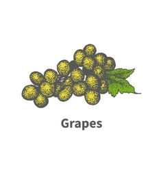 Hand-drawn yellow vine ripe grapes green leaf vector