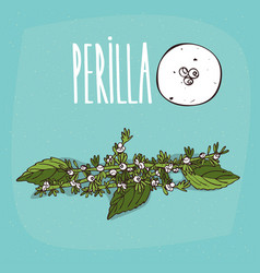 set of isolated plant perilla flowers herb vector image