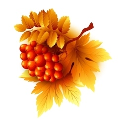 Rowan branches with orange leaves and berries vector image