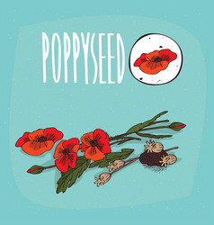 set of isolated plant poppyseed flowers herb vector image